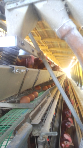 玉子集卵ベルト